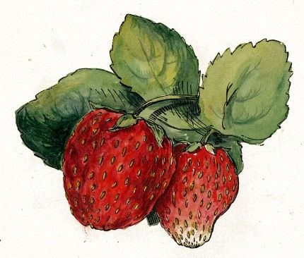 Lovely scrumptious strawberry drawing...public domain. Website has many other great images