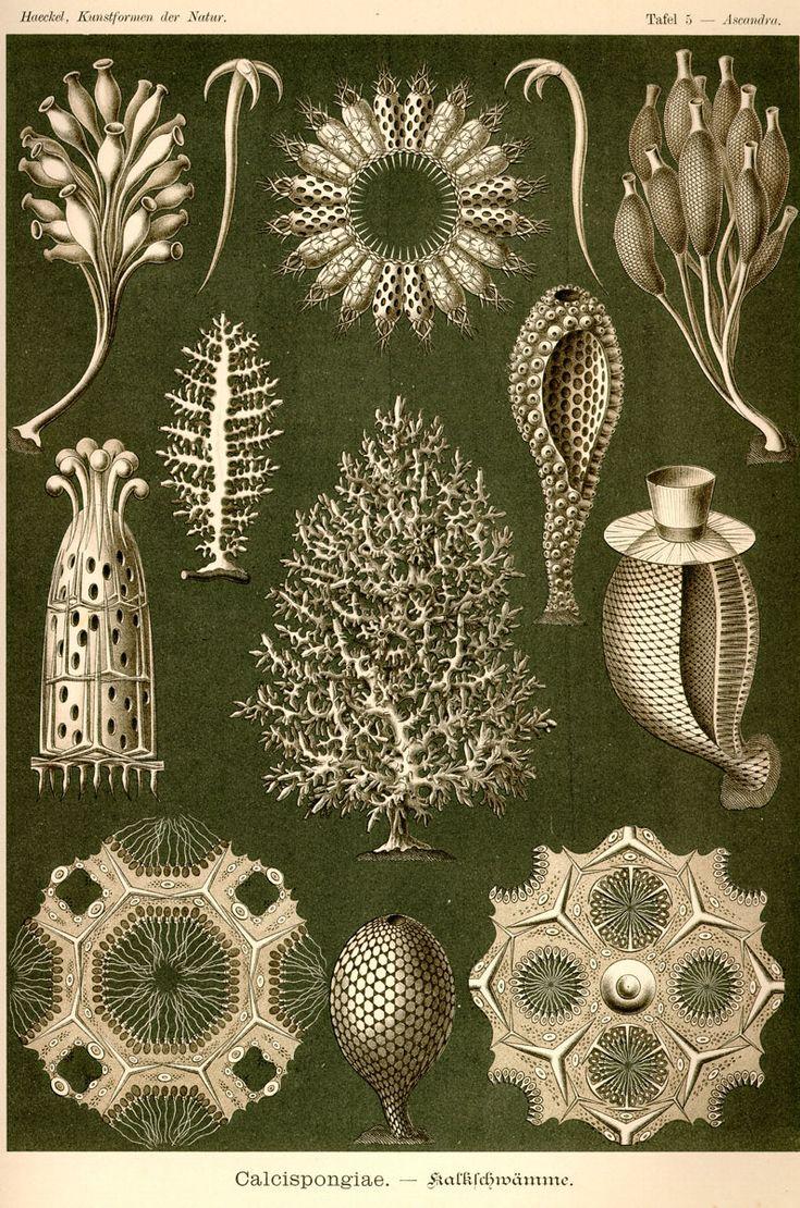 Calcispongiae by Ernst Haeckel; Kunstformen der Natur, 1900