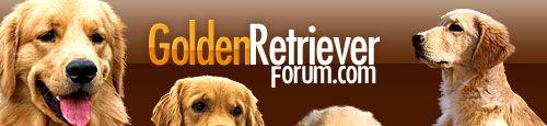 Treating Ear Infections at Home?? - Golden Retrievers : Golden Retriever Dog Forums