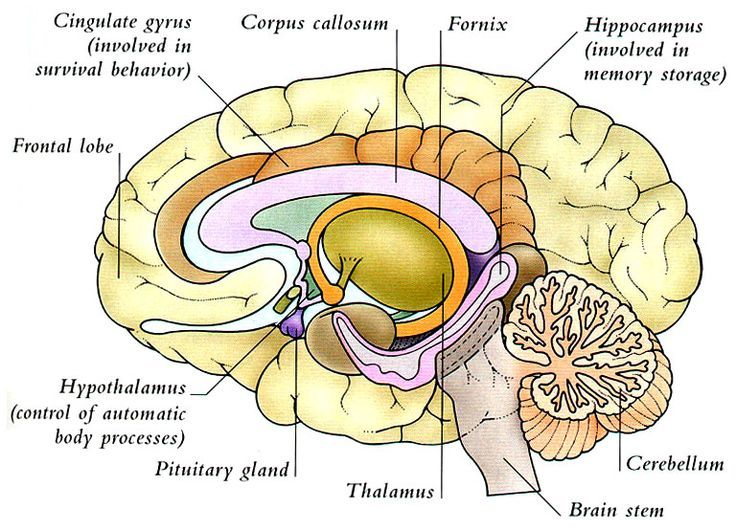 21 best brain images on pinterest the brain brain and brain anatomy humananimal anatomy and physiology diagrams human brain diagram ccuart Gallery