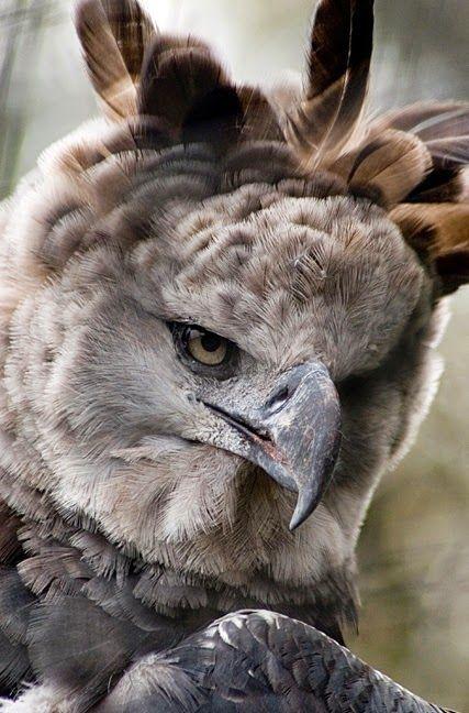 Resultado de imagem para harpy vs bald eagle