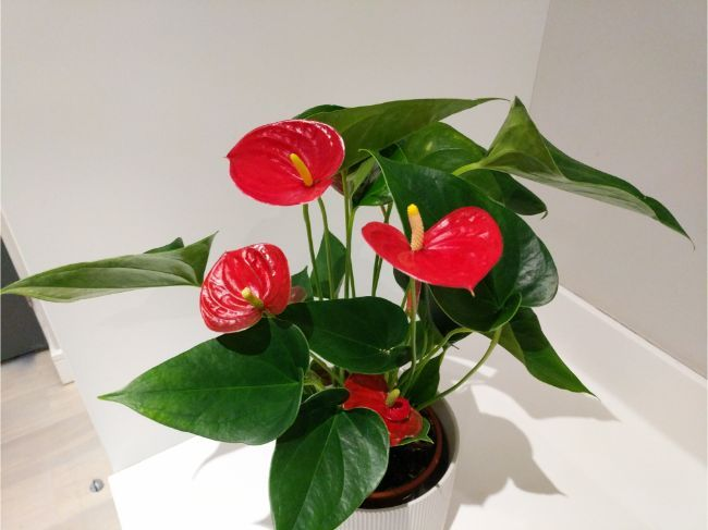 37 Small Indoor Plants To Bring Beauty Into Your Home Smart Garden Guide Small Indoor Plants Anthurium Plant Plant Care Houseplant