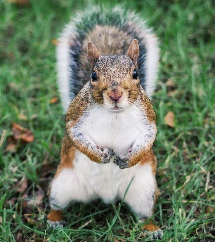 A squirrel looking at the camera