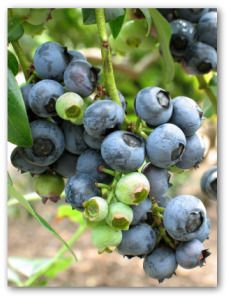 Tips for growing blueberries in your garden. How to plant, grow, care for and harvest blueberries in your backyard for best fresh blueberry results!