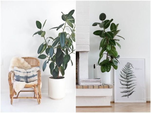 1000 id es sur le th me ficus elastica sur pinterest for Ficus plante interieur