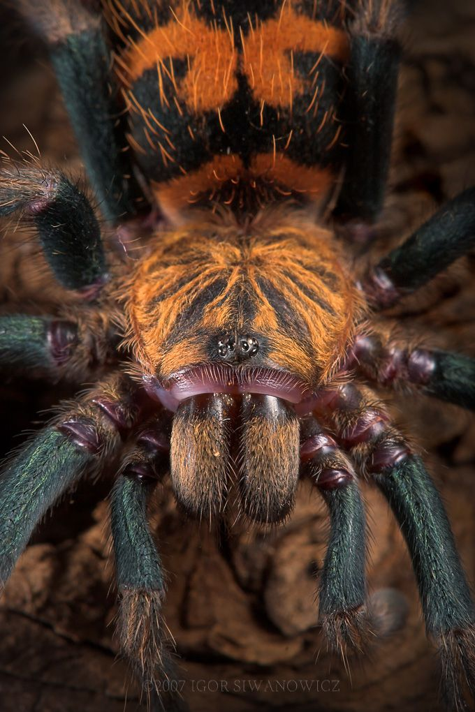 Greenbottle Blue Tarantula ~ By Igor Siwanowicz