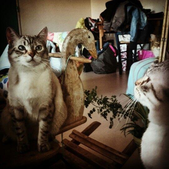 Chat reflet miroir