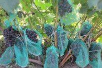 Сетки-мешочки для винограда - Садоводка