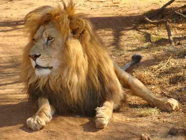 الأسد حيوان من الثدييات من فصيلة السنوريات من بين القطط الكبير والقوي لديه عدة مميزات سوف نحصرها في عشر حقائق رائعة سوف تمكنكم من ا Cat Care Cat Behavior Lion