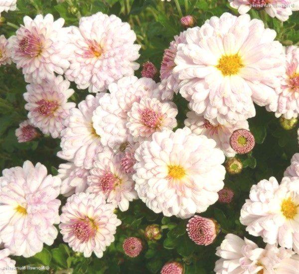 Chrysanthemum Romantica Chrysanthemum Plants Garden