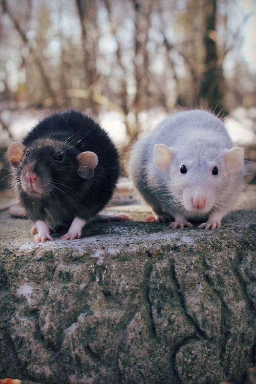 Omg they look exactly like  Velvet and Lavender my last two dumbo rats