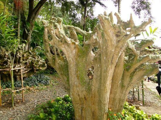 El comino crespo árbol milenario en extinción.