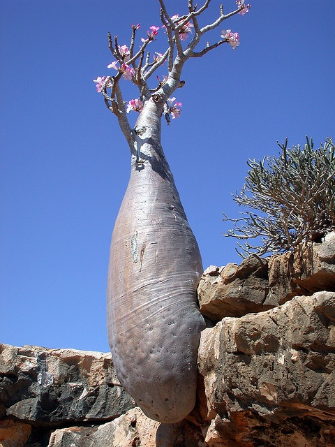 The desert rose plant, Adenium obesum var socotranum, is found only on the isolated island of Socotra, part of an archipelago in the Indian Ocean. #nature