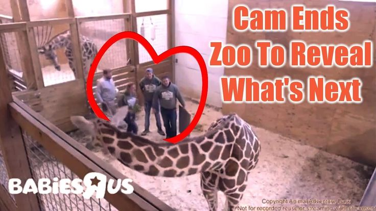 April The Giraffe Cam Ends, Zoo To Reveal What's Next | Radio News