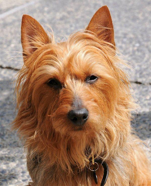 D 86 Australian Terrier With Images Australian Terrier Australian Terrier Puppies Dog Breeds