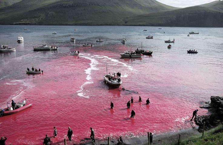L'acqua si tinge di rosso: la mattanza delle balene avviene in due spiagge, quella di Bour e quella di Tórshavn.2015.