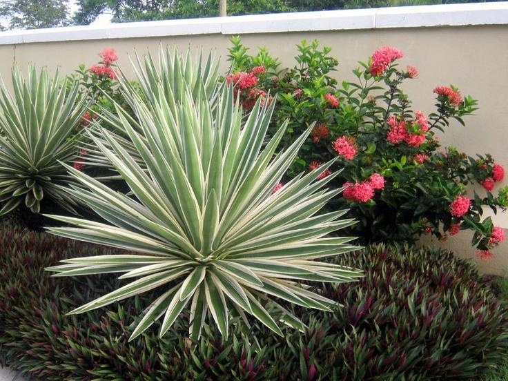 """'Bright Edge"""" Adam's needle (Yucca filamentosa 'Bright Edge') -great  yucca article"""