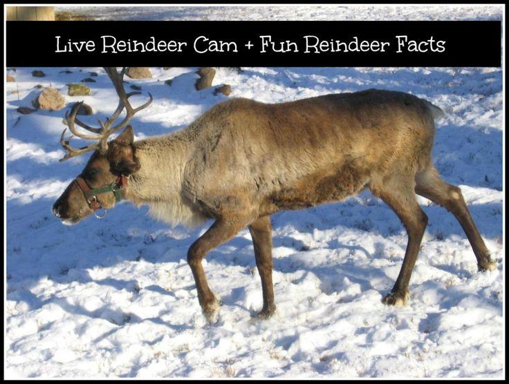 Reindeer cam on pinterest santa cam santa spy cam and reindeer