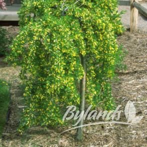 Weeping Caragana - Caragana arborescens 'Pendula' | Bylands Nurseries Ltd, great care and pruning guide