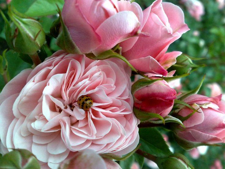 Awesome Ein Meer von Rosen Bl ten berraschte mich im Rosengarten Zweibr cken Es lohnt sich allein schon wegen der Farbe der vielen Motive die man fotografieren