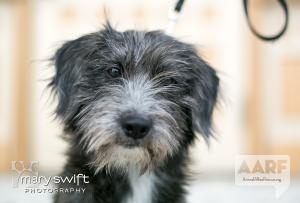 Sammie is an #adoptable Terrier Dog in #Baltimore, #MARYLAND. Hi, I'm Sammie. I came to AARF after a Good Samaritan found me, cared for me, looked for my family and then linked me up with a long-term foster t...