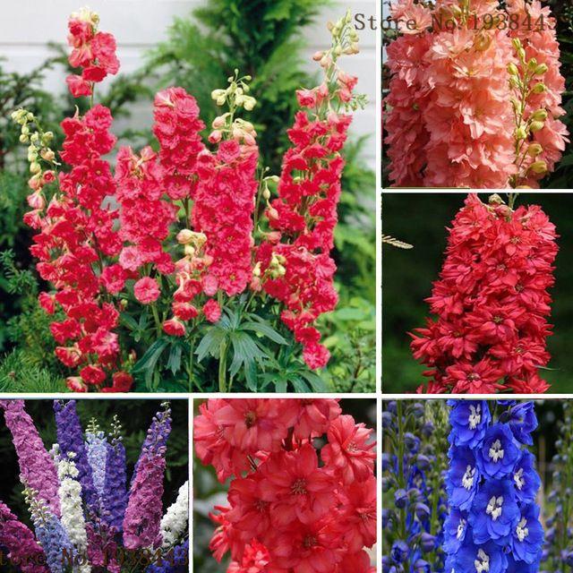 Variedad de Espuela de Caballero, planta perenne,muy lindas.