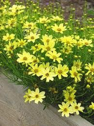 coreopsis zagreb - Easily grown in dry to medium moisture, well-drained  soil in full sun. Thrives in poor, sandy or rocky soils with good drainage.