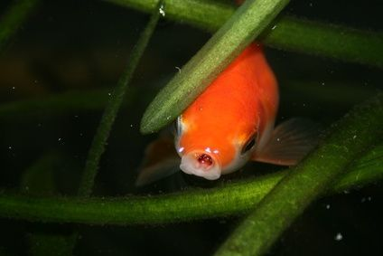 How to Care for an Outside Goldfish Pond