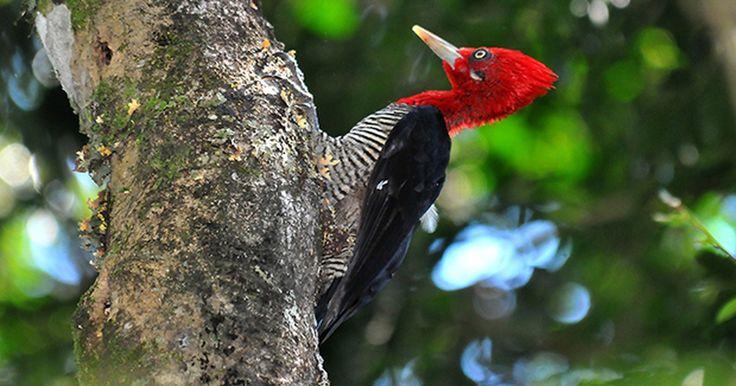 Pica-pau-rei é a maior espécie e se destaca pela bela plumagem