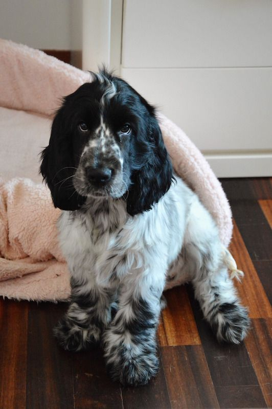 Shaun White  Bluroan English Cocker Spaniel