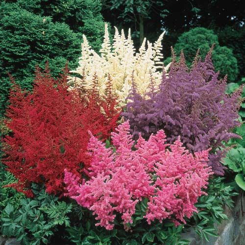 Mixed Astilbe | Michigan Bulb | Feathery Blooms On Sturdy Stems Are Ideal  For Borders, · Shade PerennialsShade PlantsShade ...