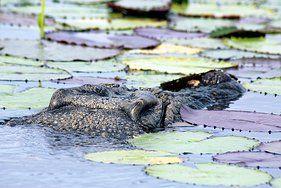 #MonashGroup, Photo Gallery. #Crocodile #Arnhem land. www.monashgroup.com.au