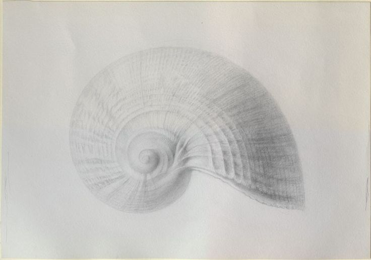 The Elements of Drawing, John Ruskin's teaching collection at Oxford, Enlarged Study of a Halitosis Shell
