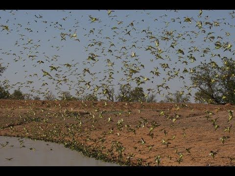A Giant Flock Of Parakeets Fly Together In The Australian Outback