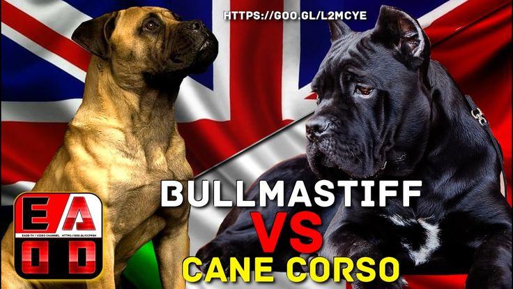 BULLMASTIFF VS CANE CORSO - EADD TV / VIDEO CHANNEL
