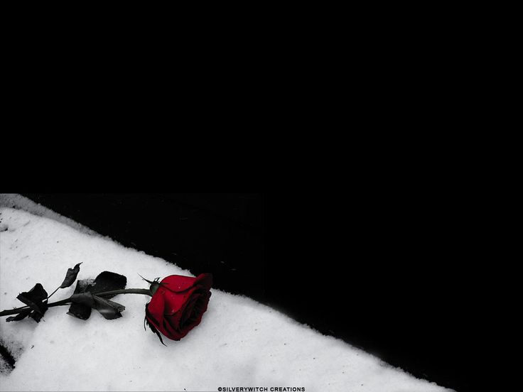 Black rose wallpaper from gothic wallpapers scarlet - Rose in snow wallpaper ...