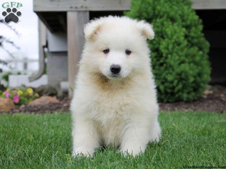 38 best Samoyed Puppie...
