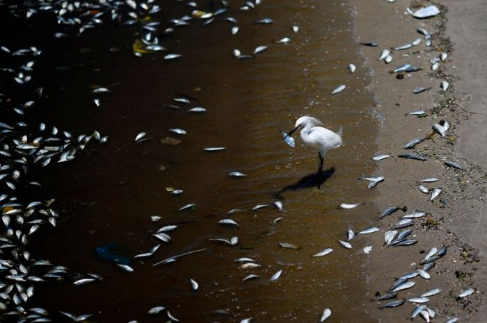 A bird eats a fish surrounded by dead fish on the banks of the Guanabara Bay in Rio de Janeiro February 24, 2015.  International Olympic Committee members meeting in Rio de Janeiro this week will understand if its waters are not completely clean for the sailing events in 2016, the state's governor said on Monday.