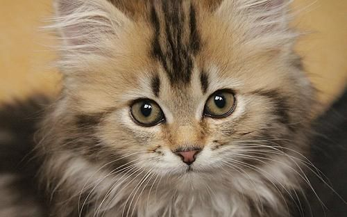 deutsch langhaar kitten katzen cats pinterest tags. Black Bedroom Furniture Sets. Home Design Ideas