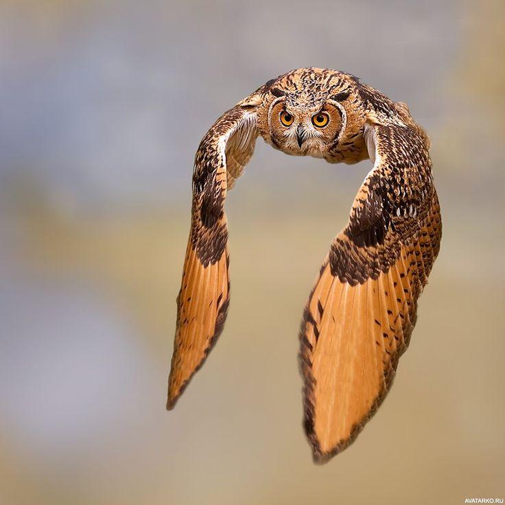 Летящая сова с большими крыльями — Авы и картинки | Чучело ...