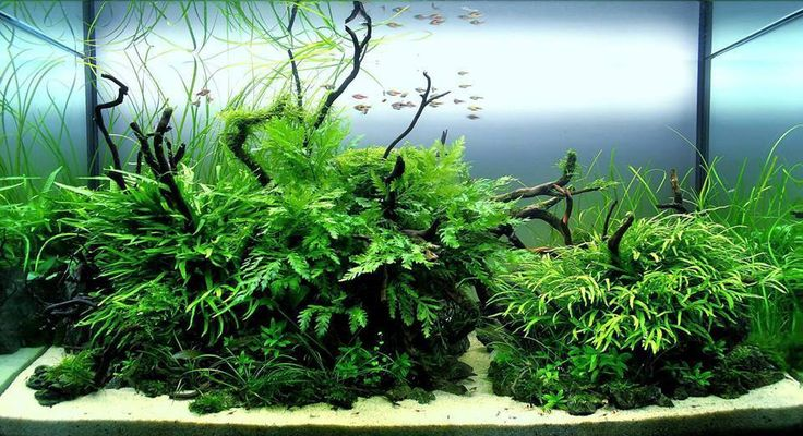 Planted tank byGregory Charlet IAPLC 2013 entry. Twin island layout with java ferns and bolbitis