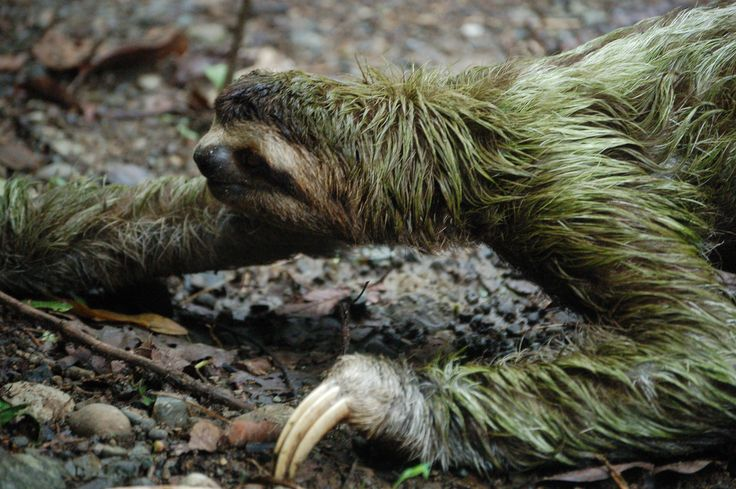 Three-toed sloth crossing the road at Manuel Antonio National Park, Costa Rica. Its greenish colour is due to the algae which lives on its fur