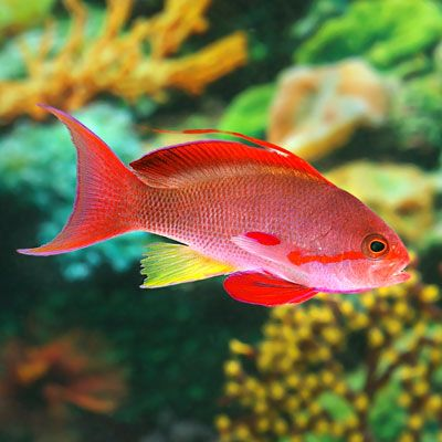 Orange Anthias (Lyretail) Male, Live Aquarium Saltwater Fish for Sale Online |