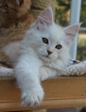 Cream Silver smoke/shaded Maine Coon kitten
