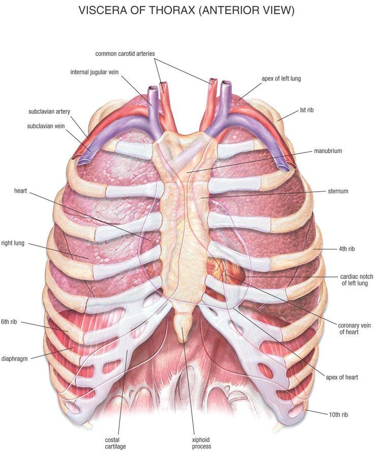 human anatomy chest cavity anatomy of chest bones human ... chest bones diagram