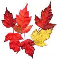 Herbstfärbung von Acer tataricum subsp. ginnala Feuer-Ahorn