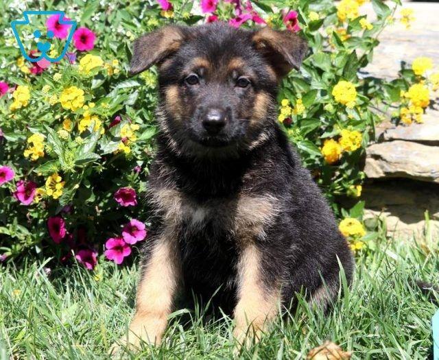 German Shepherd Puppies For Sale Puppy Adoption Keystone