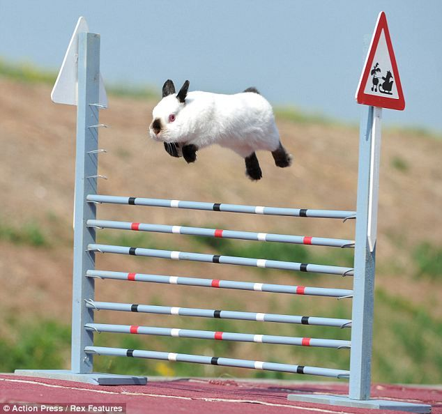 Copenhagen, Denmark - Kaninhop Competition.  Pretty sure there's nothing cuter than rabbits jumping over obstacles.