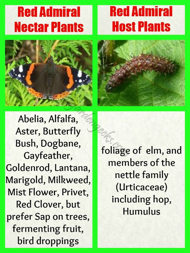Red Admiral Host And Nectar Plants | For More Gardening Tips, Join Us On  Facebook