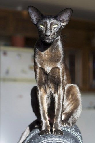 Cat Breeds That Act Like Dogs: Oriental
